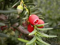 Taxus_baccata_PP
